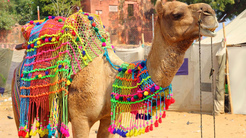 feria del camello de Pushkar