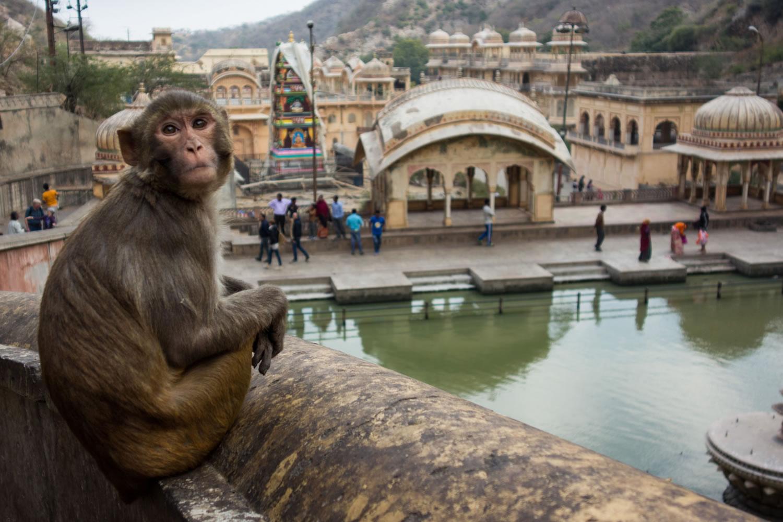 mono de la India