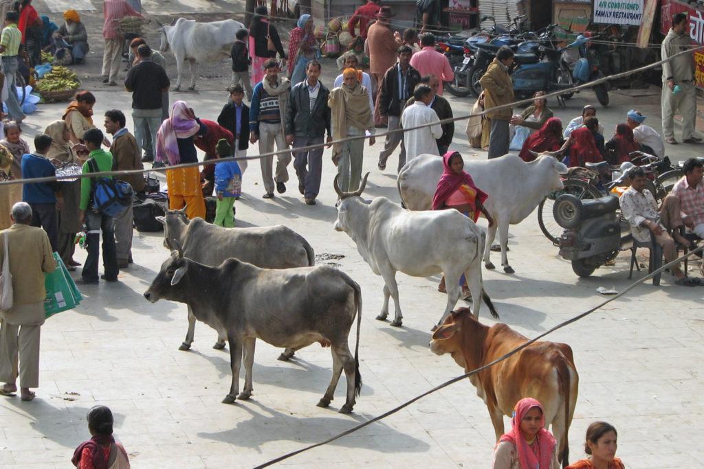 vacas por las calles de la India